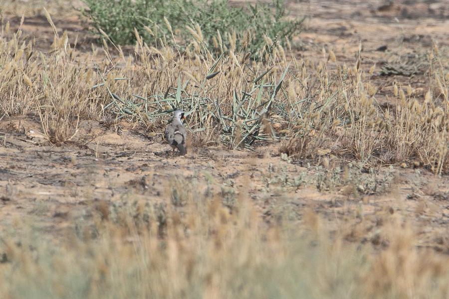 Namaqua Dove - male