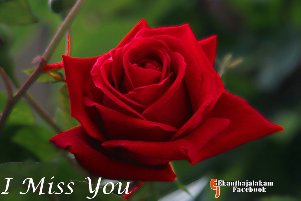 Lovely Quotes For You: I Miss You in Cute Rose Flower New ...