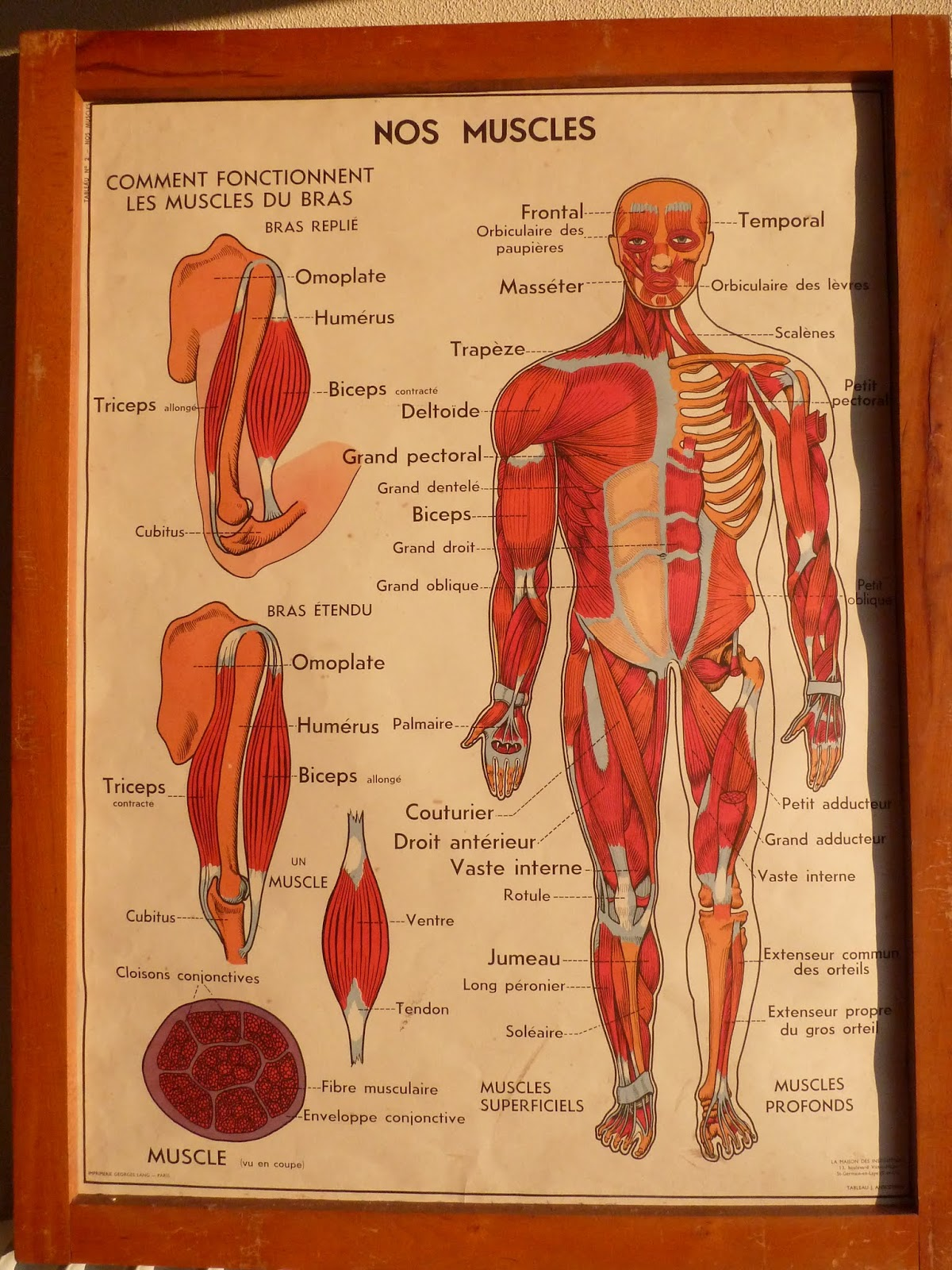 Human body anatomy poster