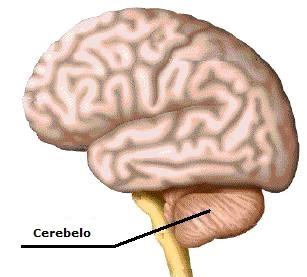 Dibujo del cerebelo indicando donde está ubicado