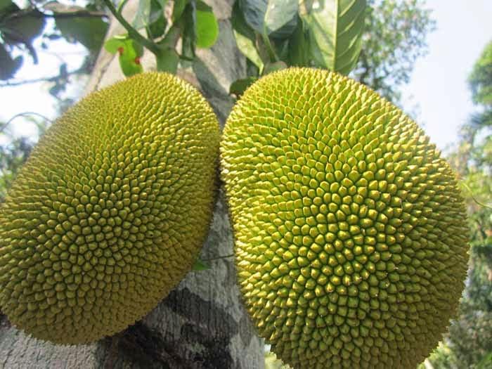 Cekfrut və ya hind çörəyi ağacı