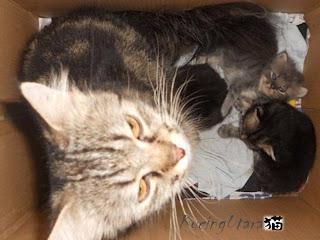 Kucing Utara Membuang Kutu Anak Kucing