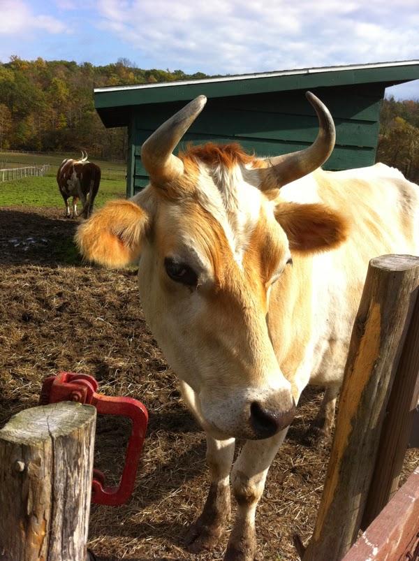 Корова в приюте