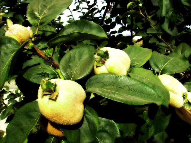 Golden quinces...