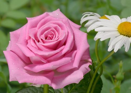 Aqua  rose сорт розы фото