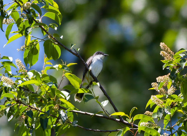 Eastern Kingbird - Prospect Park, New York