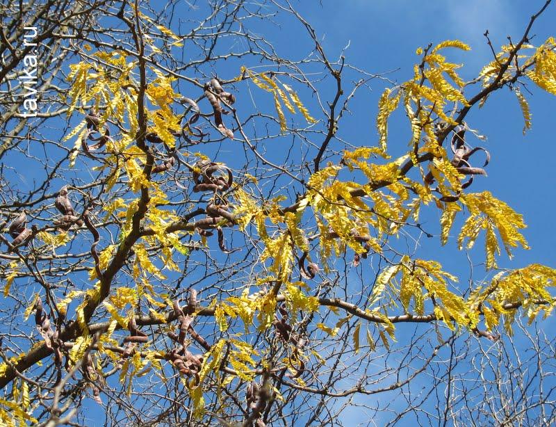 гледичия - дерево с плодами