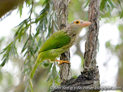 Lineated Barbet (Megalaima lineata)