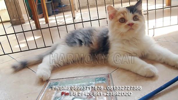 Hamster Dan Kucing Persia Murah Surabaya 11 01 2013 12