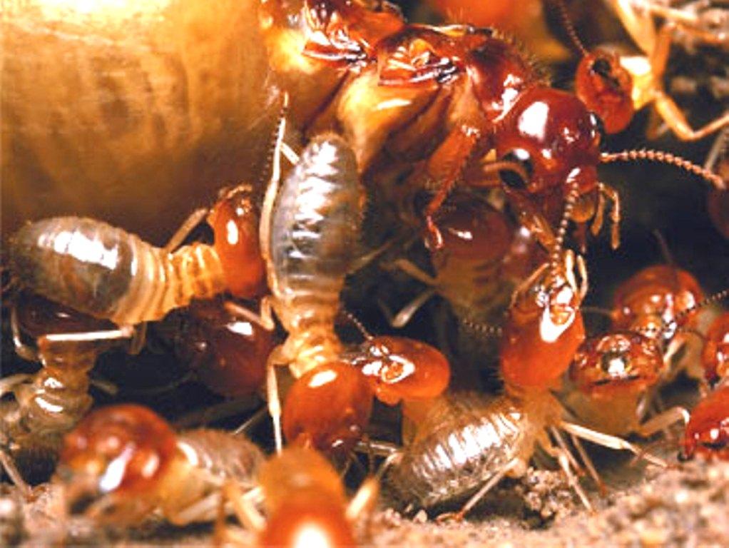 termites pictures
