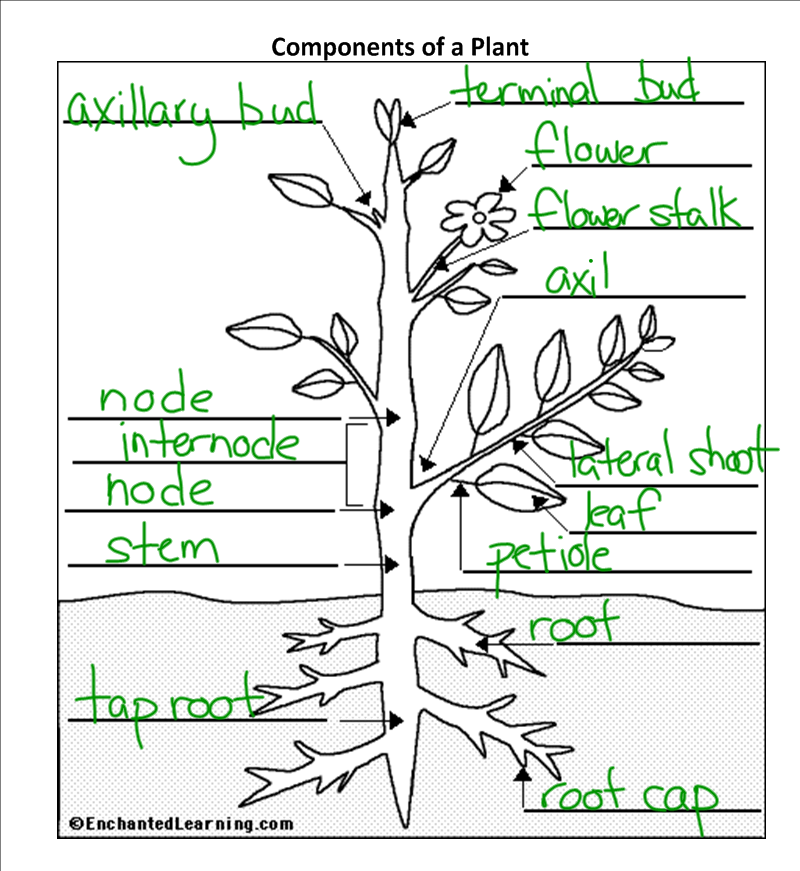 Plant Structure And Function Worksheet – Plant Anatomy Worksheet