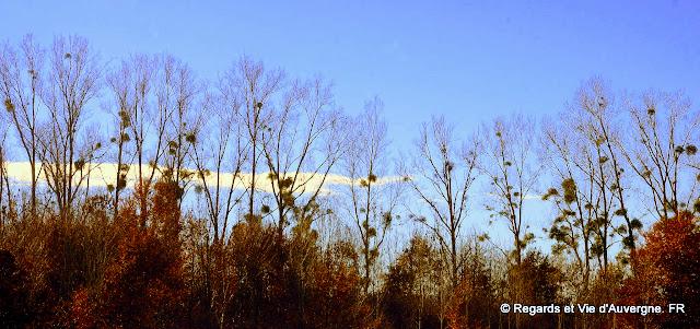 Paysage d'Auvergne, arbres avec gui