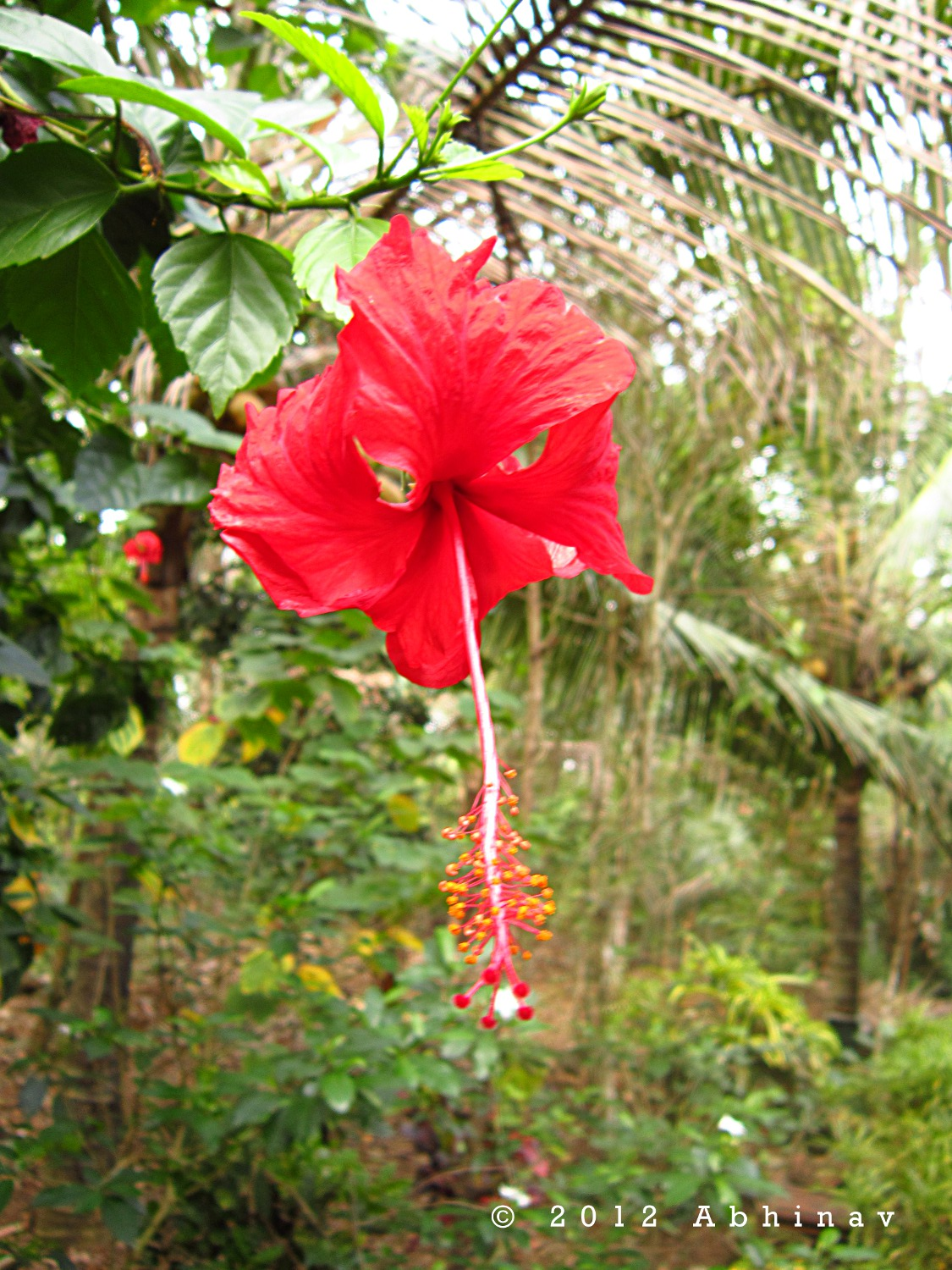 Hibiscus flowers rhythm of nature it is the most common hibiscus variety i think scientific name is hibiscus rosa sinesis the flowers with five petals are in pure red color izmirmasajfo Image collections