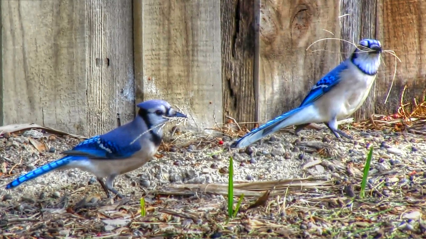 Blue Jays Gathering Nest Material
