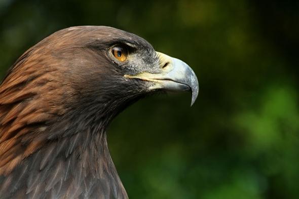 10 Burung dengan Rentang Sayap Terlebar di Dunia: Elang Emas (Aquila chrysaetos)