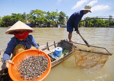 Vợ chồng anh Trương Văn Phong, ở xã Thường Phước Tiền, Hồng Ngự, Đồng Tháp, những ngày qua đưa nhau bơi xuồng ra sông cào hến, kiếm được 200.000 đến 300.000 đồng mỗi hôm.