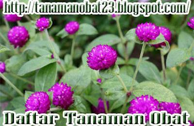 Manfaat Dan Khasiat Tanaman Bunga Kenop (Gomphrena globose Linn.)