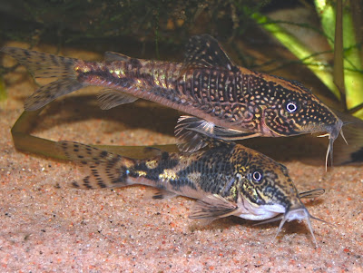 African Brown Knife Fish Fish index: bearded catfish