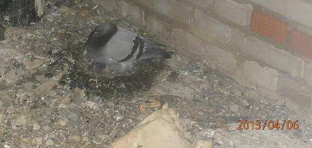 Самка голубя на гнезде