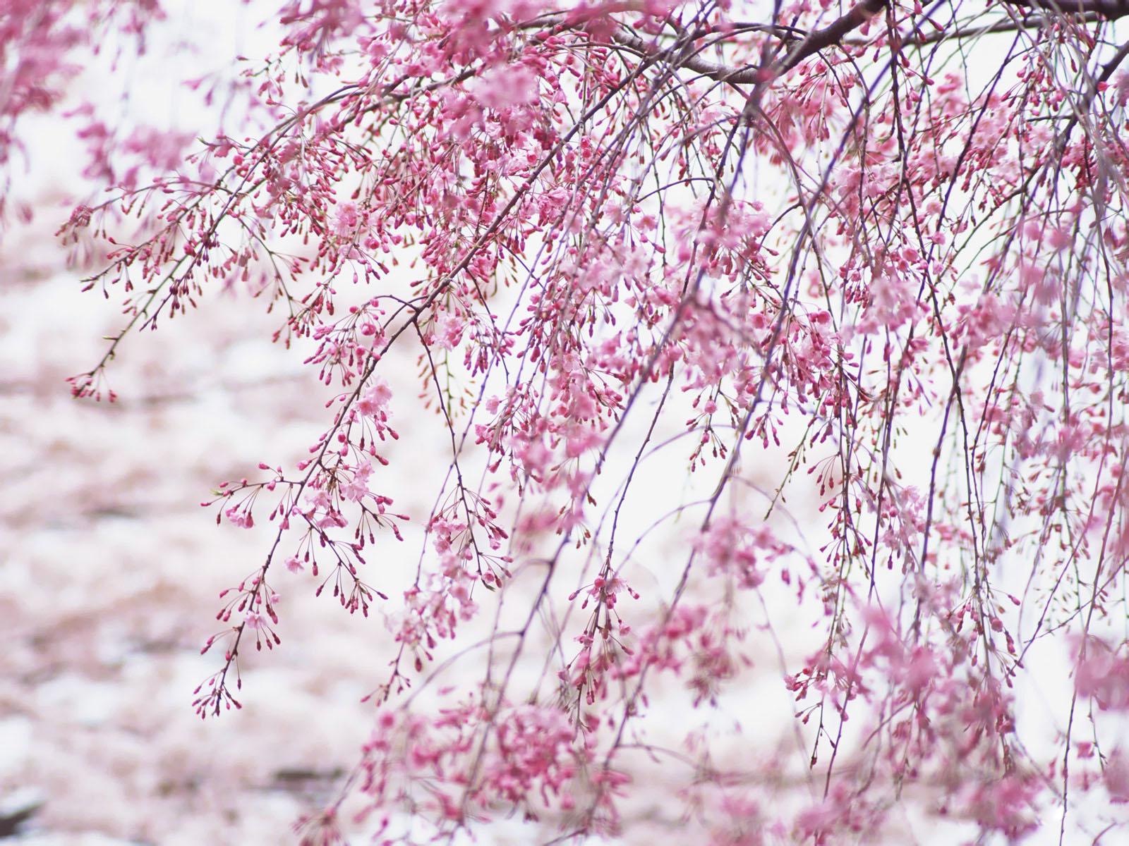 http://3.bp.blogspot.com/-MNRUa--j0fY/UQJP-ywlvRI/AAAAAAAAKL0/bHIqCfl1pRM/s1600/hinh-nen-hd-dep-hoa-anh-dao-Japanese_nice_wallpapers-windows-8_xuan-2013-121_EZ187.jpg