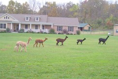 MOONLIGHT ACRES SURI ALPACAS