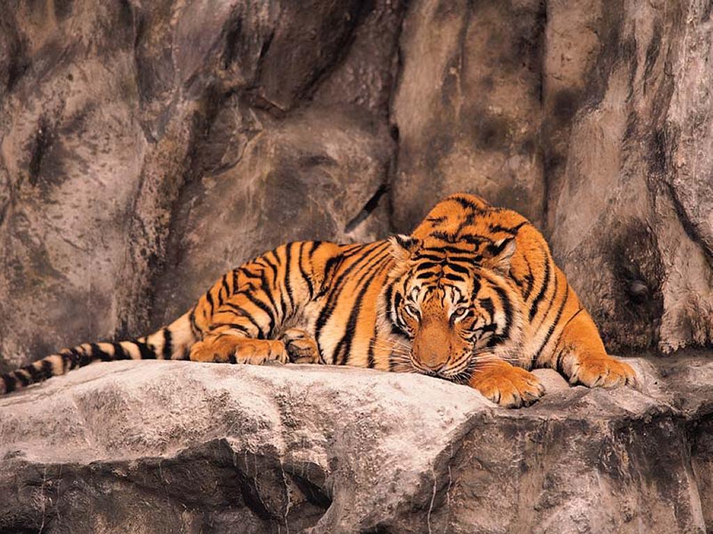 http://3.bp.blogspot.com/-MNaOETc0A6E/UPhIFn79kAI/AAAAAAAAAcw/vdREQLeZLaE/s1600/wallpaper-tigre-dormindo-com-olhos-abertos-1104.jpg