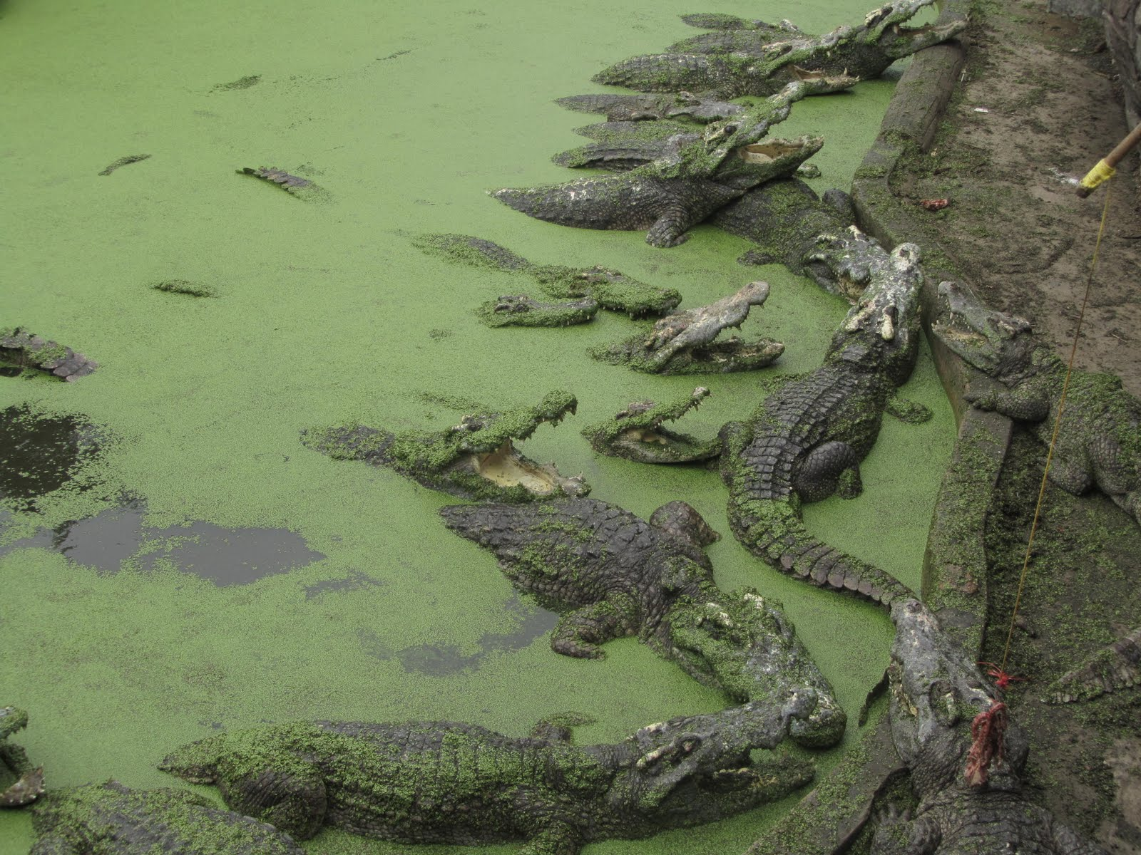 One year in Thailand: Samutprakarn Crocodile Farm