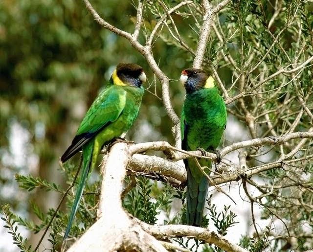 Australian Ringneck Parrot 5