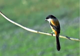Burung Cendet : Burung Kicau : Burung Suara Merdu Variasi Banyak : Burung Cendet Atau Pentet