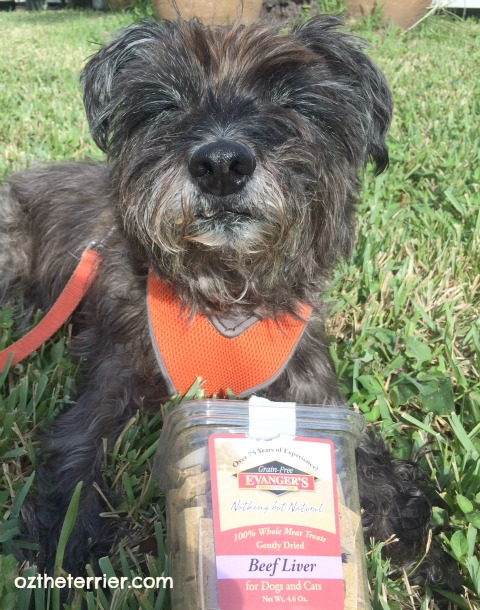 Oz the Terrier can't wait to try Evanger's Pet Food Freeze-Dried Beef Liver treats