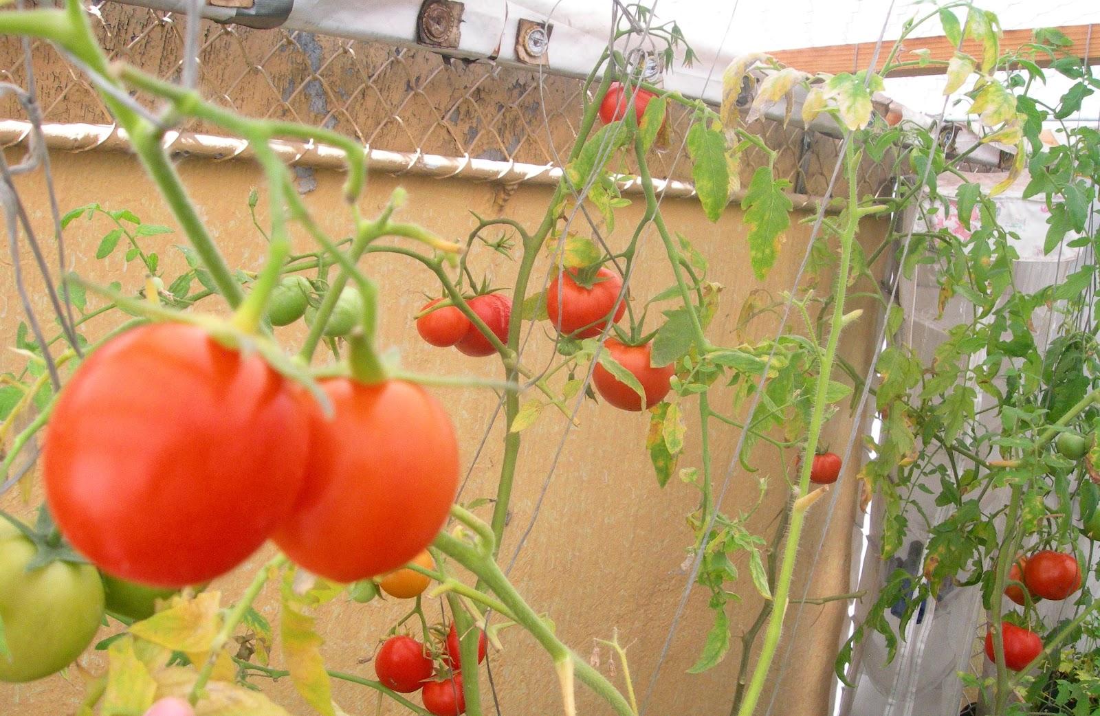 Mi huerto en casa abril 2012 - Tutores para tomates ...