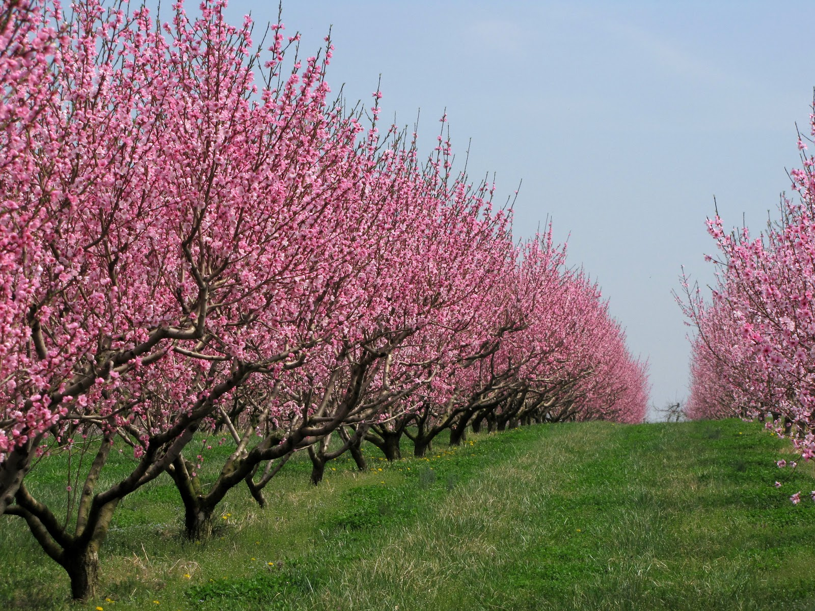 http://3.bp.blogspot.com/-MOXHDf5FaO8/UX2NH3-MQCI/AAAAAAAACLM/iax494T4XuY/s1600/Peach+orchard+blossoms+3.23.12+(3).JPG