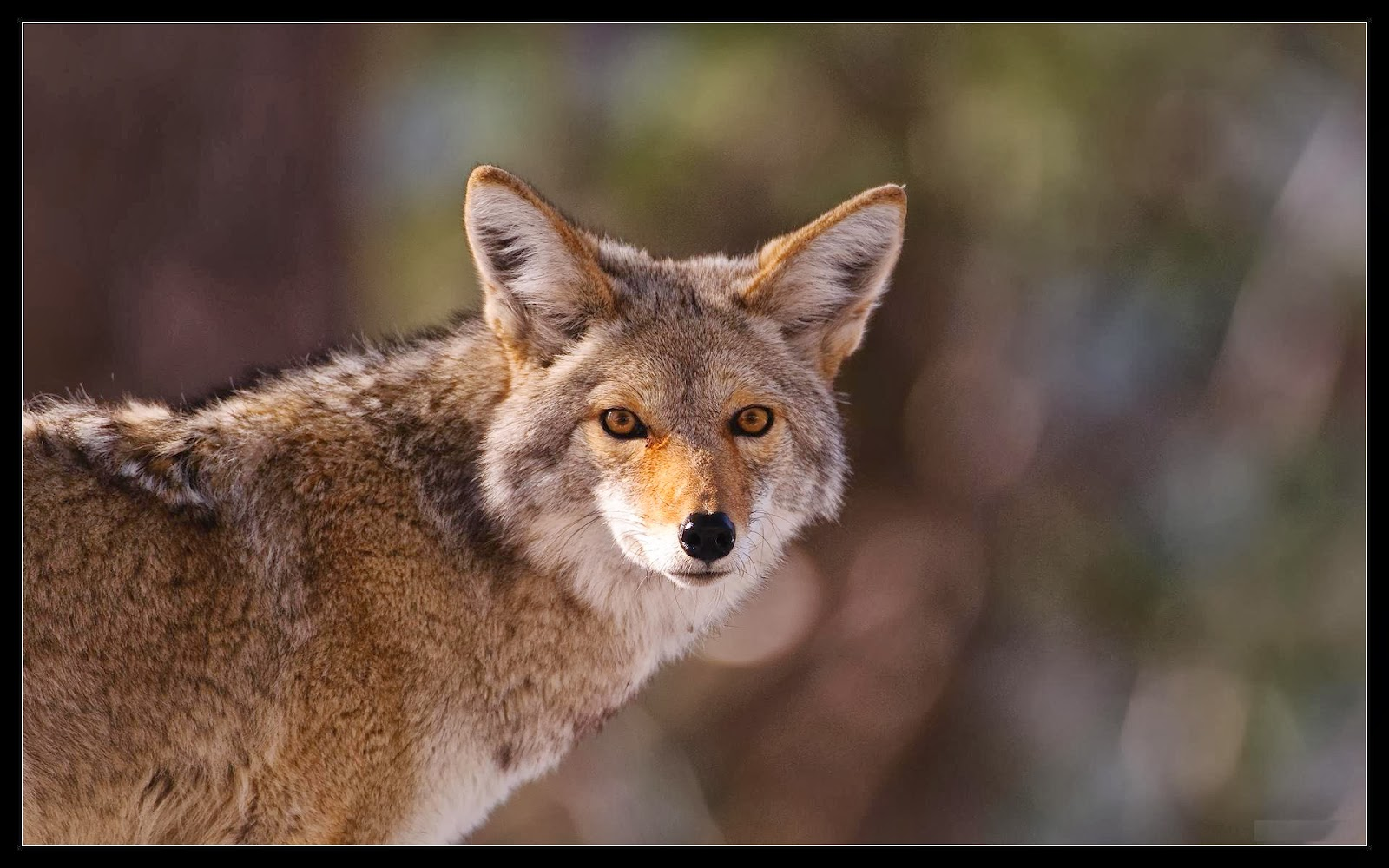 Fox Animal