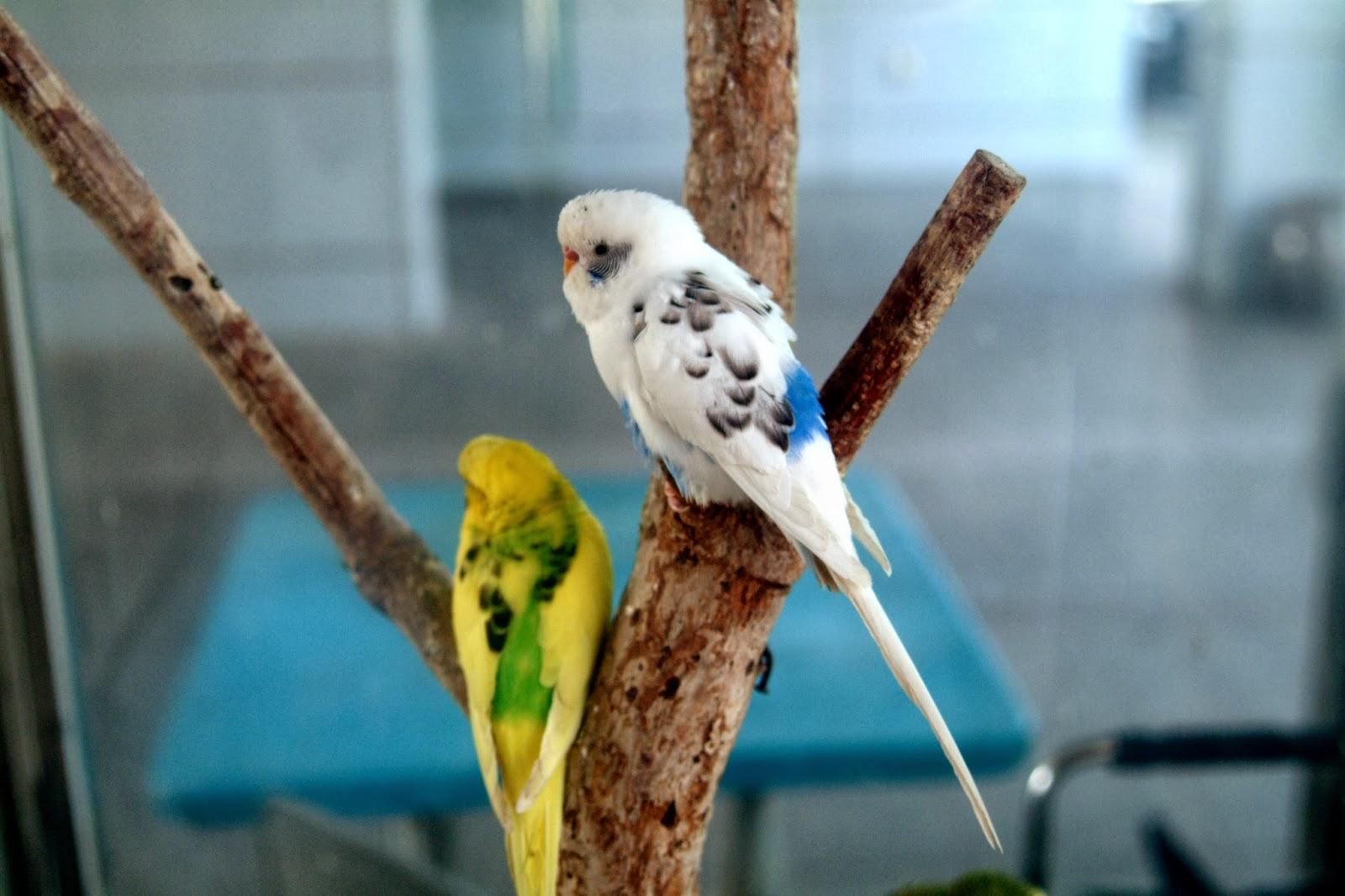 Волнистые попугаи размножение в домашних условиях 72