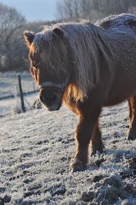 """Hästen """"rimfrost"""""""