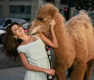 Funny camel pictures