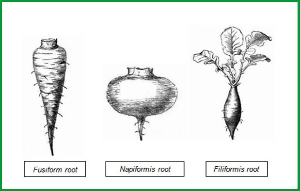 Akar merupakan bagian tumbuhan yang berfungsi sebagai penopang tegaknya tubuh tumbuhan Akar Tunggang, Struktur, Proses Terbentuk, serta Jenis-Jenisnya