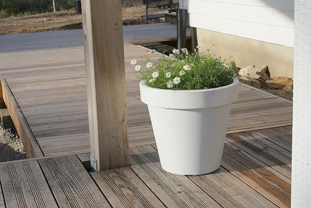 lehtikuusi, valkoinen ruukku, minimalistinen puutarha