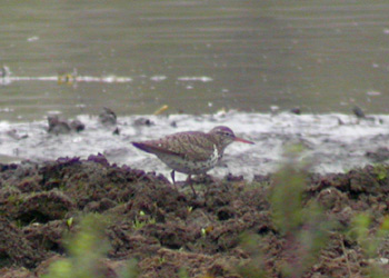 SPOTTED SANDPIPER-SANDBACH FLASHES-12TH JUNE 2004