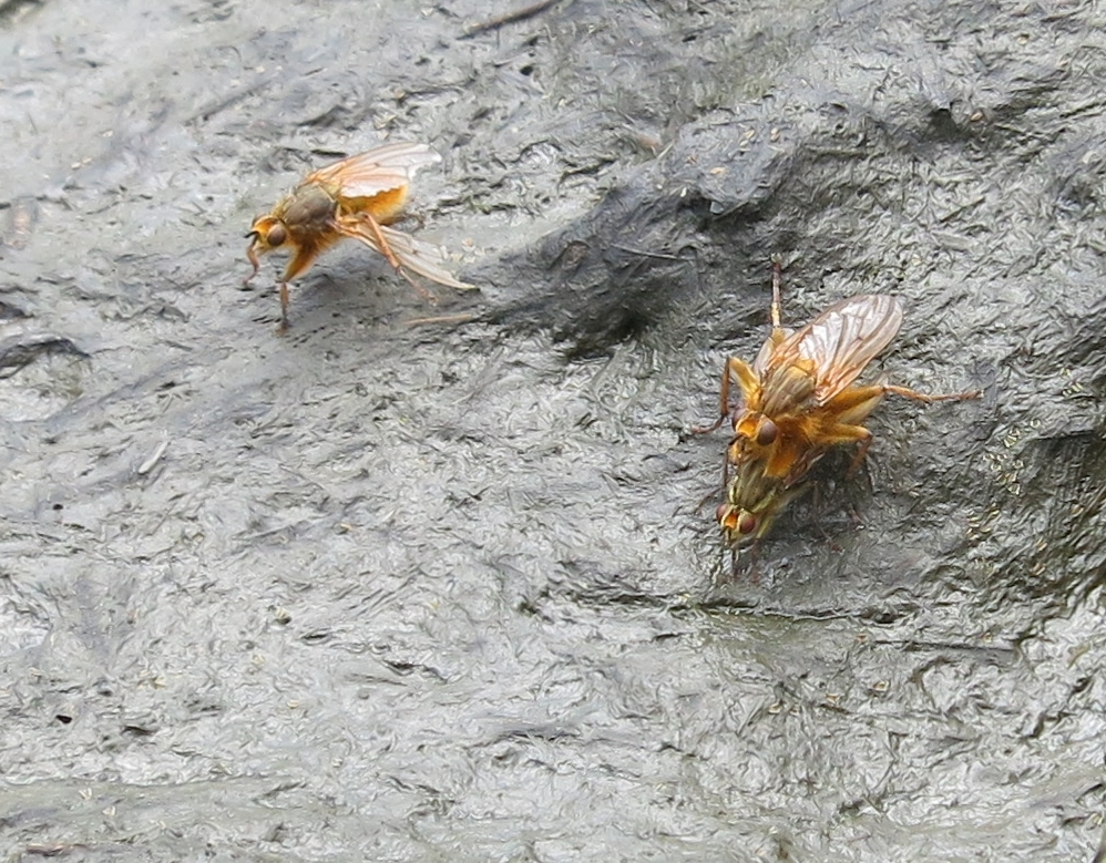 Three Yellow Dung Flies on a cow pat.