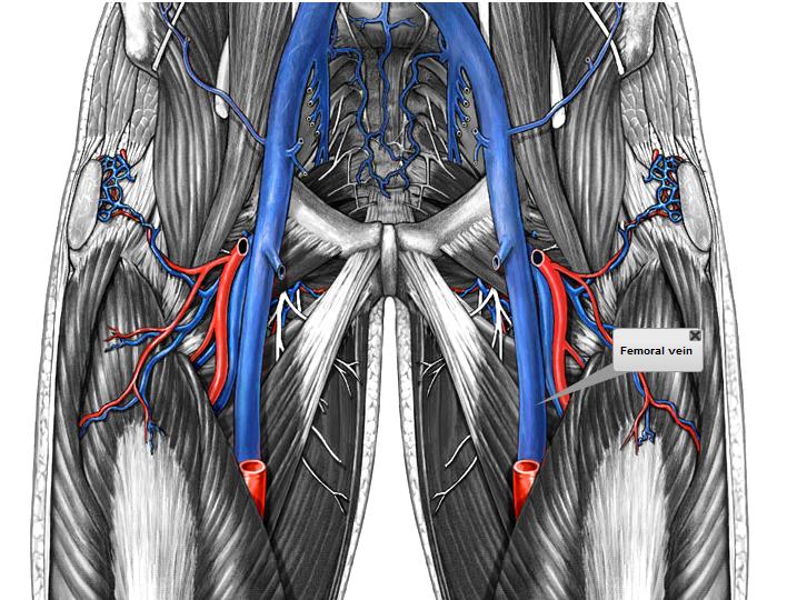 El aparato Cardiovascular: Circulación Sanguínea. Vena Femoral y ...