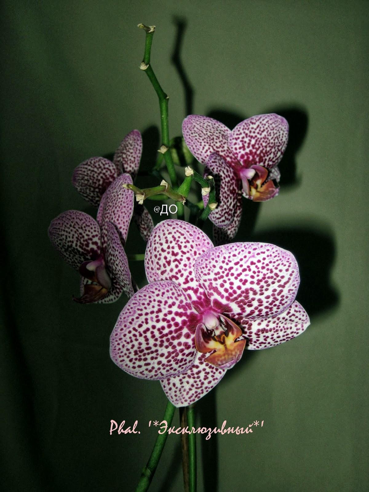 Цветет боковая детка фаленопсиса