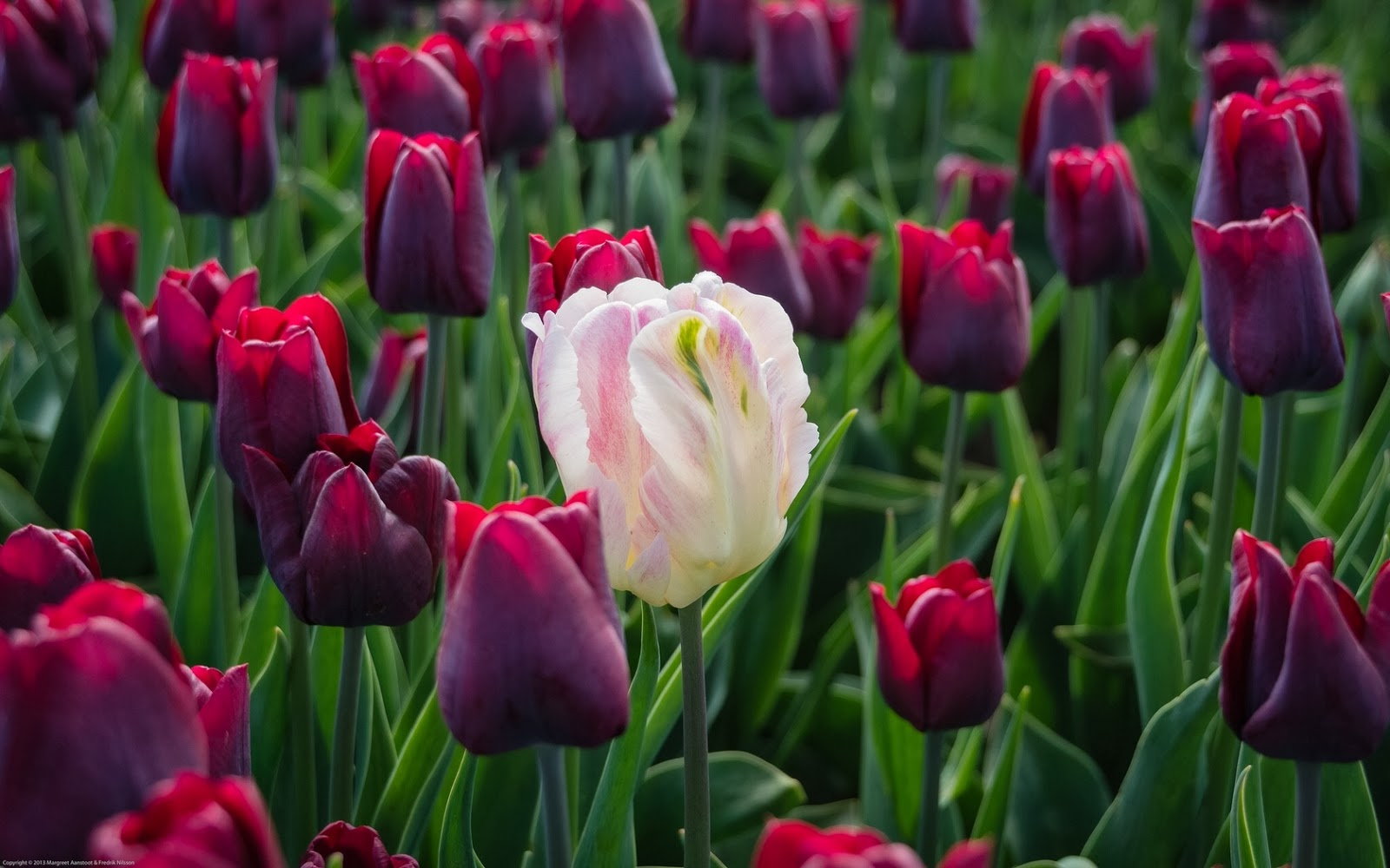 tulipanes, azalea, hortensias - Fotos Bonitas de Amor