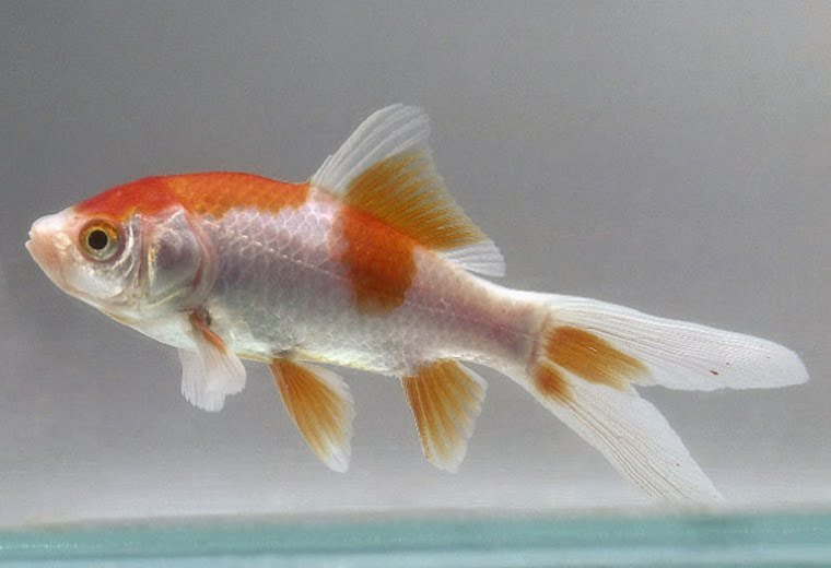 goldfish eggs hatch. hair 2011 goldfish eggs