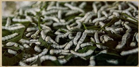 uzbek silk ikat, uzbek silk worms, uzbek textile tours