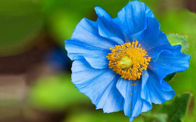 Hermosas Flores Azules