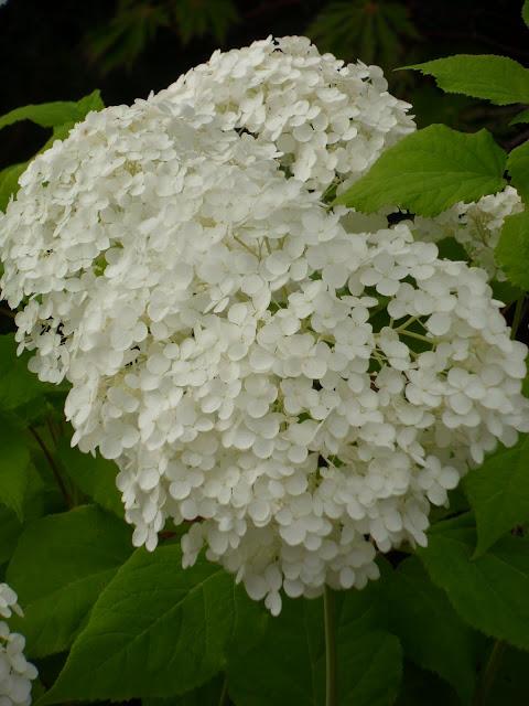 Hageliv og hagedesign: Hvit X-faktorballerina - vierhortensia ...