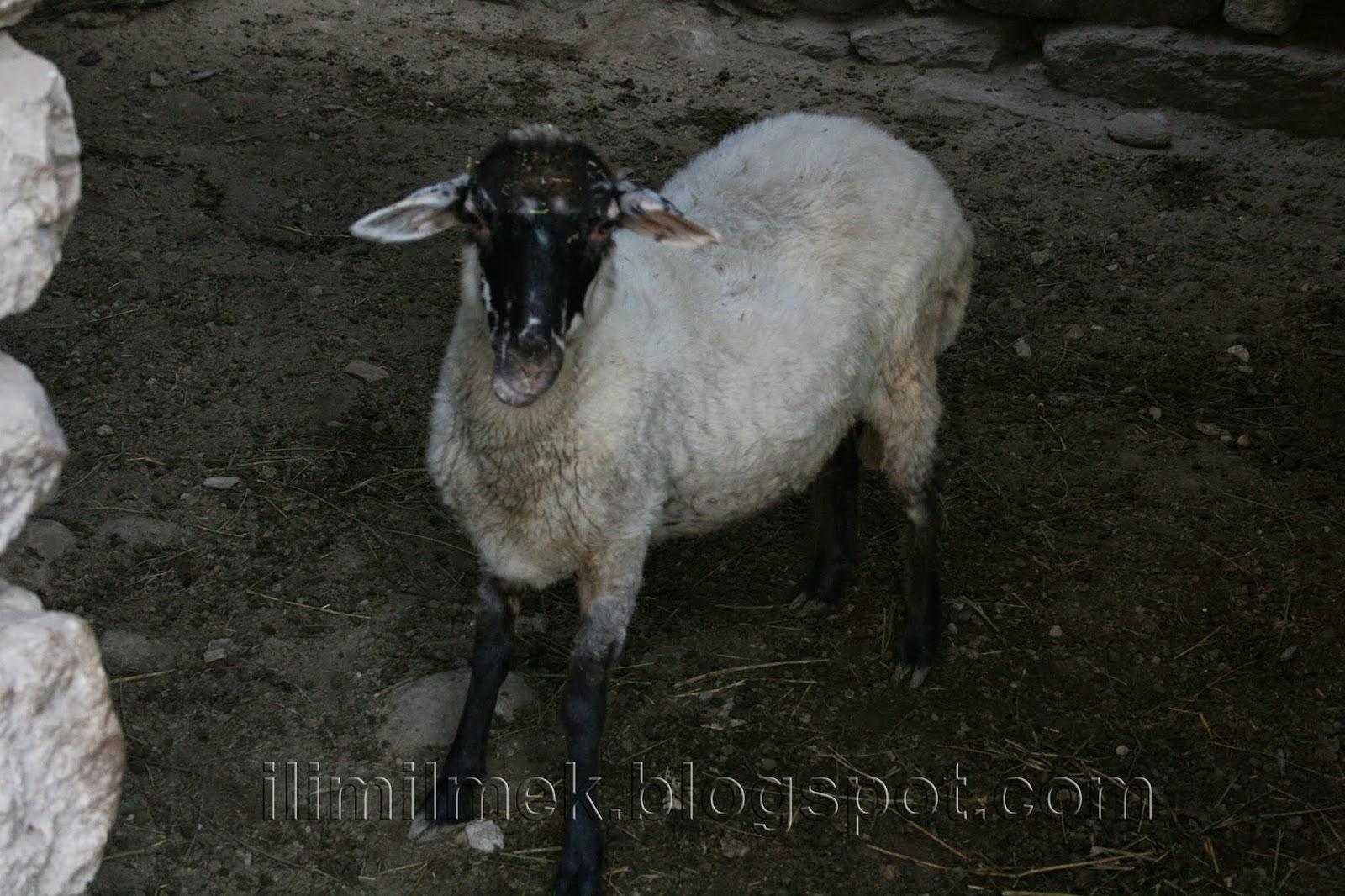 yerli koyun irki