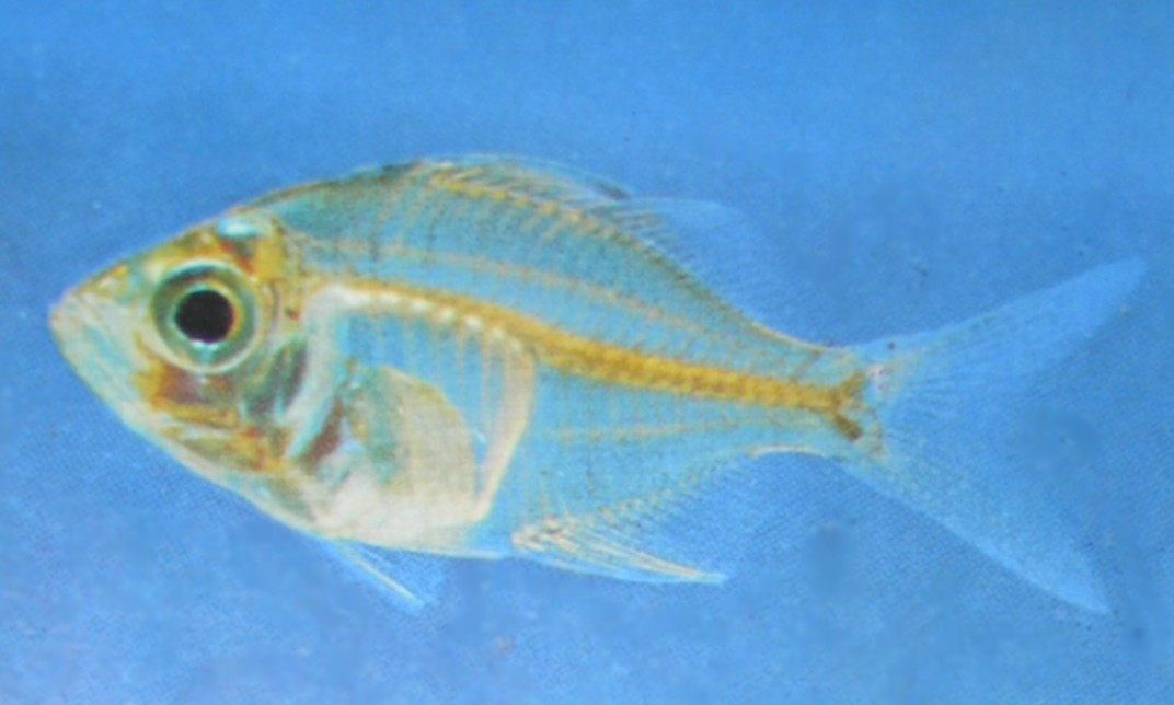 Indian Glassy Fish : aquarium fishes: indian glass fish information