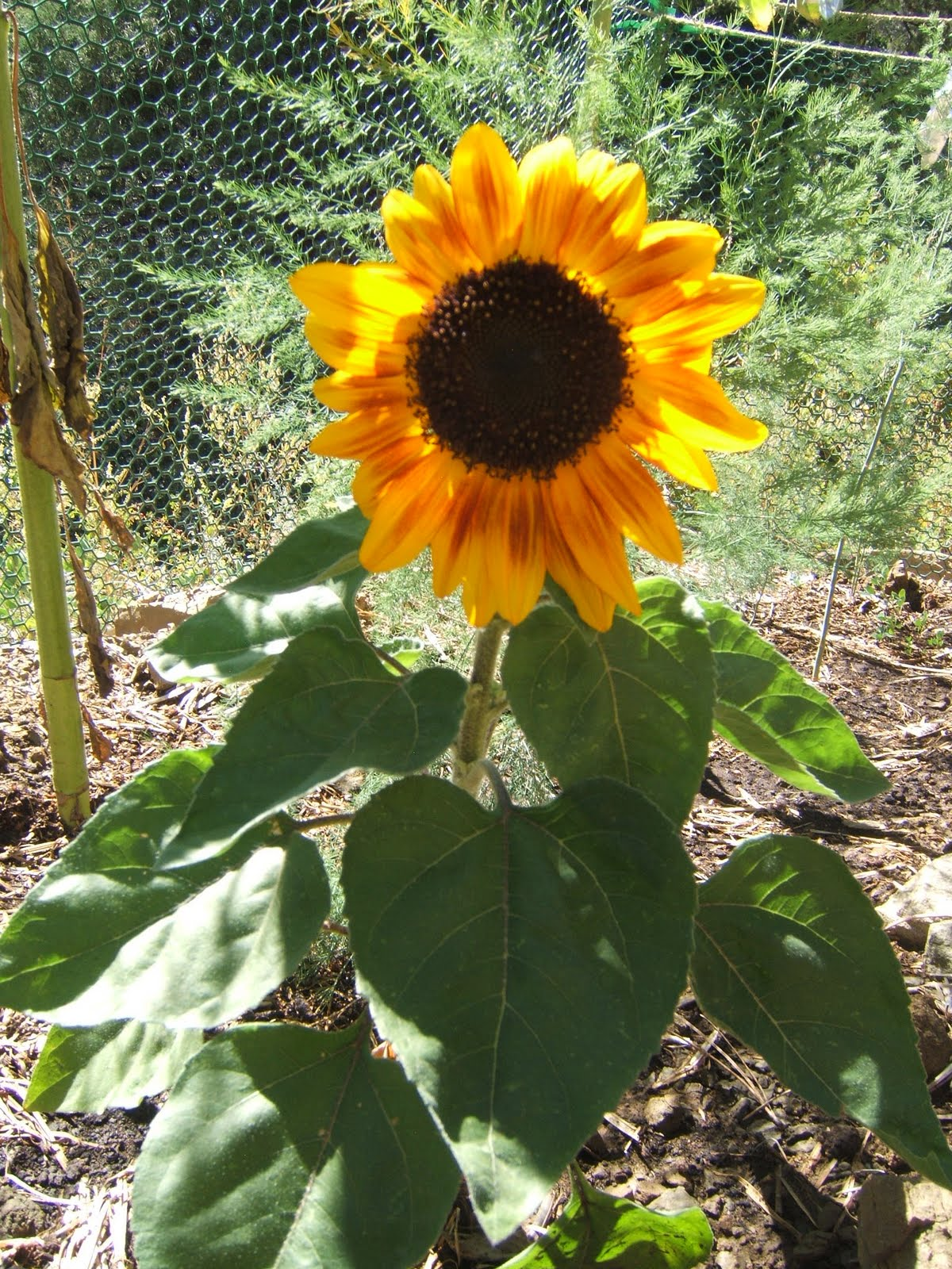 Small Music Box Sunflower, only three feet tall.